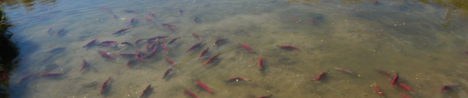 Sockeye salmon at Pedro Ponds. Photo by Peter Westley.