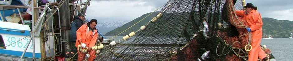 Fishermen pull a seine net full of salmon in Chignik Lagoon, Alaska. Photo courtesy of Peter Westley.
