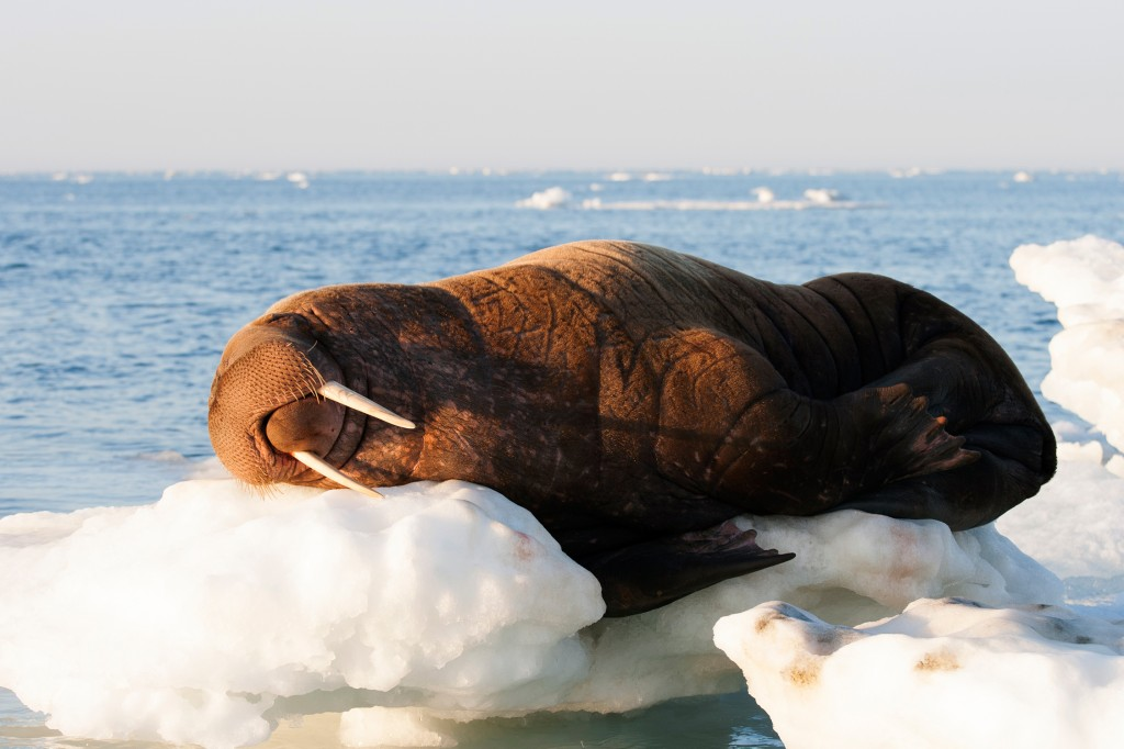 walrus napping on ice