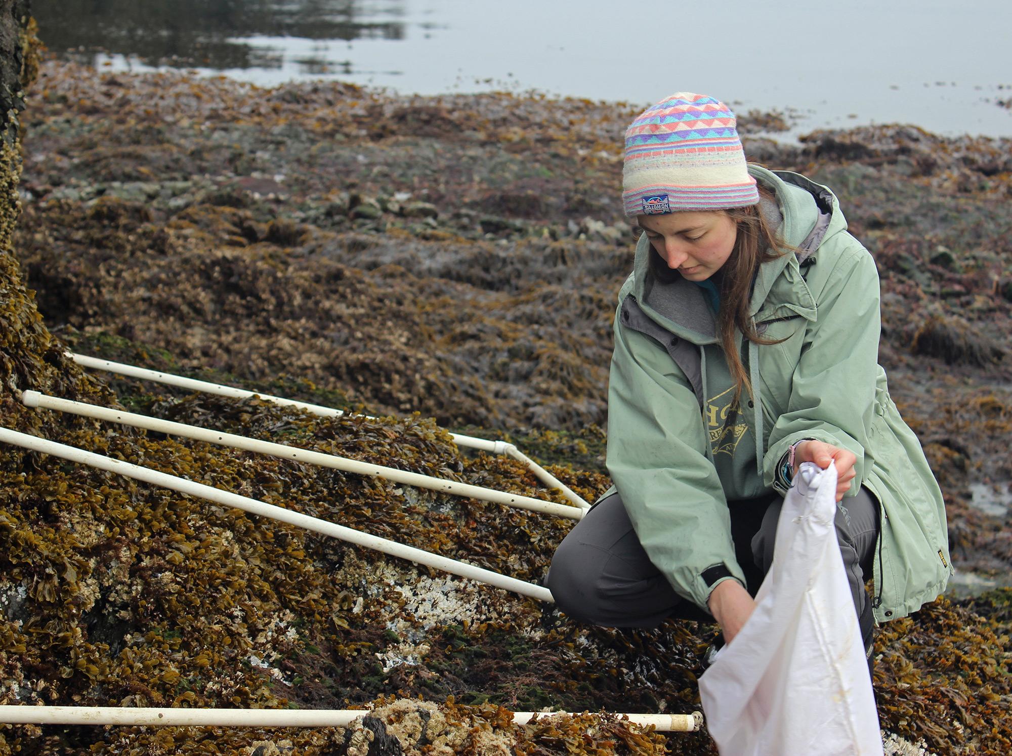 Marta Ree harvesting rockweed
